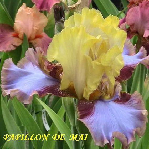Papillon De Mai