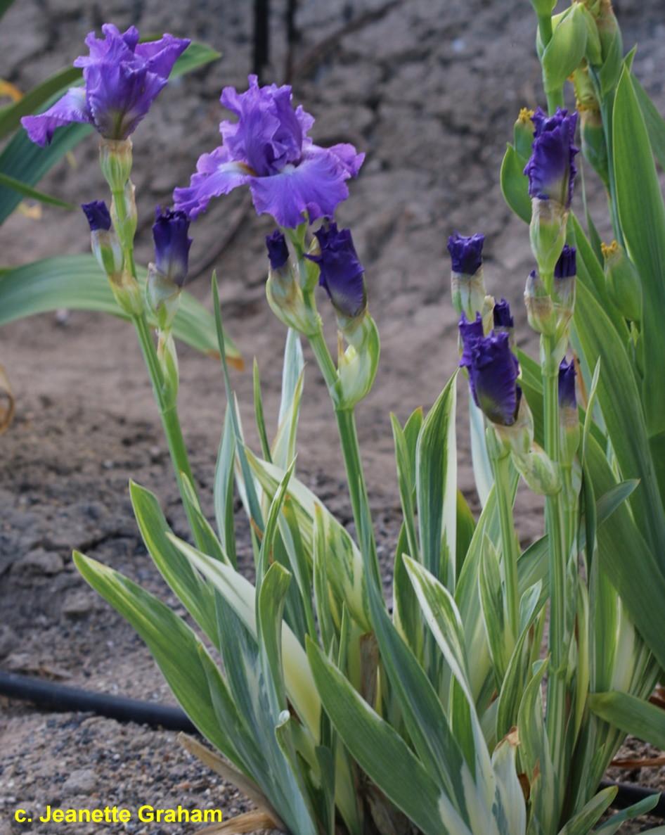 Iris стриптиз