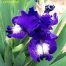 Photo by C&T Iris Patch