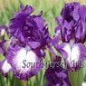 Photo by South Jersey Iris