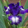 Photo by Superstition Iris Gardens