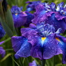 Photo by Chad Harris of Mt. Pleasant Iris Farm
