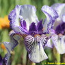 Photo by Karen Lockyear at Aurora Borealis Iris Garden,Aurora,Ontario,Canada