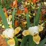 Tooth_fairy_small_Dwarf_Iris_photo_archive_027.jpg