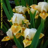 photo by Aurora Borealis Iris Garden