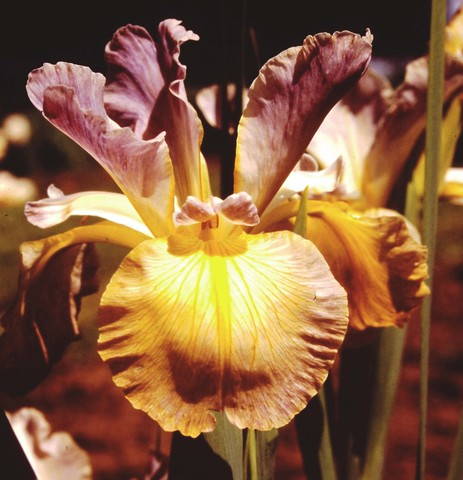 Missouri Orchid