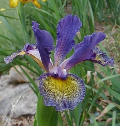 Purple Concerto
