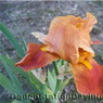 Photo by Ogden Station Daylilies
