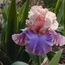 Florentine Silk