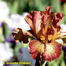 Photo by Jeanette Graham-Magic Valley Iris Society